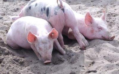 Peste porcine africaine : le porc gaumais, responsabilité et solidarité !